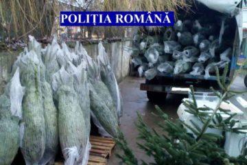 Acțiune a polițiștilor nemțeni: 152 de pomi de Crăciun, confiscați și 270 mc de material lemnos