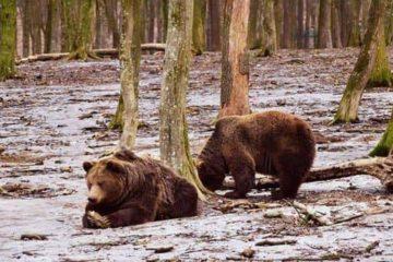 Astăzi, de Ziua Ursului, urșii din România au anunțat o primăvară timpurie. În 13 ani, nu au dat greș niciodată
