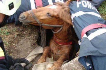 Salvatorii au intervenit pentru scoaterea unui cal dintr-un beci, din Trifești și a unui vițel, dintr-o groapă comună