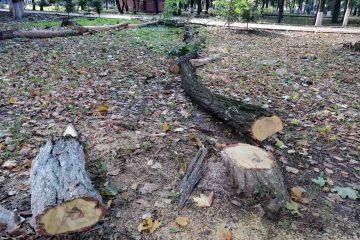 64 de arbori din Parcul Municipal Roman vor fi tăiați. Acțiunea este în desfășurare