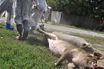 Atenție! Astăzi, pesta porcină a fost confirmată în Neamț. Instituțiile sunt în alertă