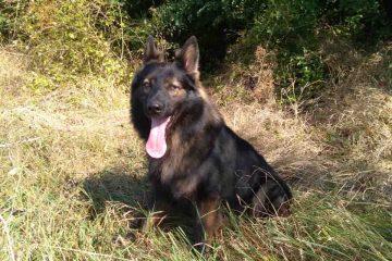 Neamț: Câinele polițist TAD și-a făcut datoria. Femeia dispărută a fost găsită