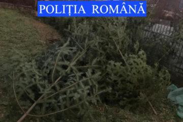 Pomi de Crăciun depistați în curtea unui gospodar din Neamț
