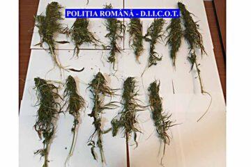 Percheziții în Neamț: luptătorii SAS și jandarmii au confiscat 12 plante cu aspect de  cannabis